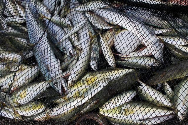 大漁に漁獲された青魚