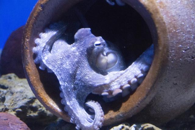 タコ壺に隠れるメス