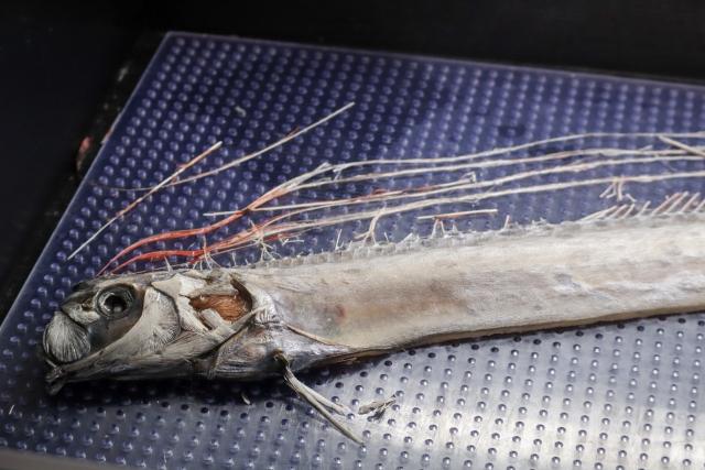 世界で一番長い魚「リュウグウノツカイ」