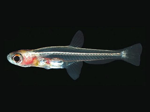 世界で一番小さい魚 ドワーフ・フェアリー・ミノー