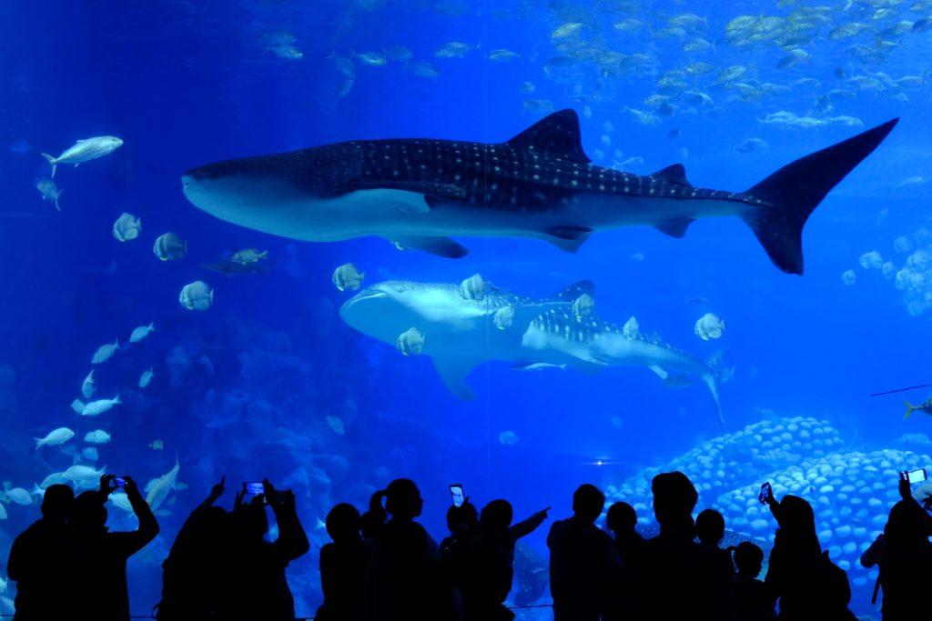 世界で一番大きい魚 ジンベエザメ