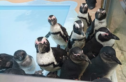 近付いてくるペンギン