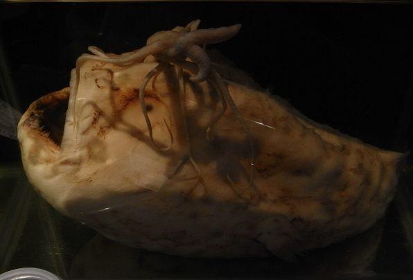チョウチンアンコウの模型