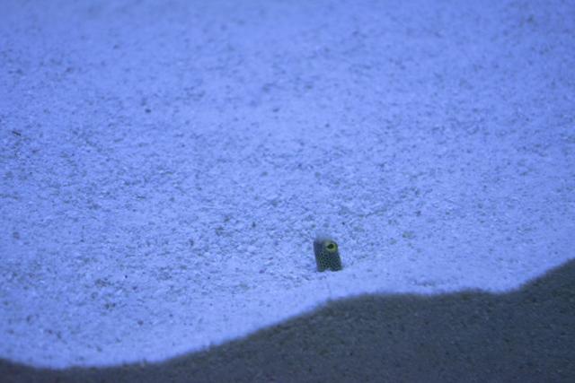 砂に隠れるチンアナゴ